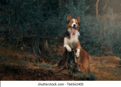 Border Collie in the wood