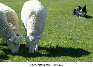 Border Collie working sheep in local exhibition