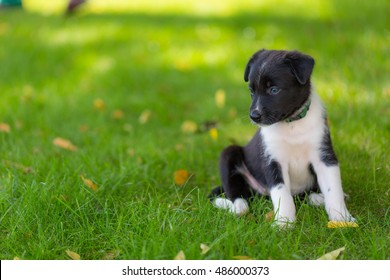 Border Collies black puppy. 4 weeks old puppy outdoors on a sunny day. A purebred Border Collie puppy without leash outdoors in the nature on a sunny day.