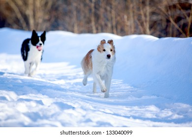 Border Collies fun in winter
