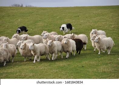 Border collies herd sheep downhill