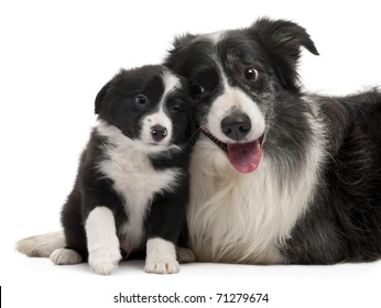 Border Collies interacting in front of white background