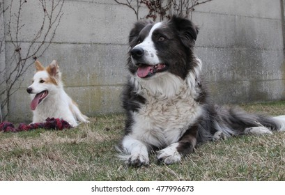 border collies lying in the grass