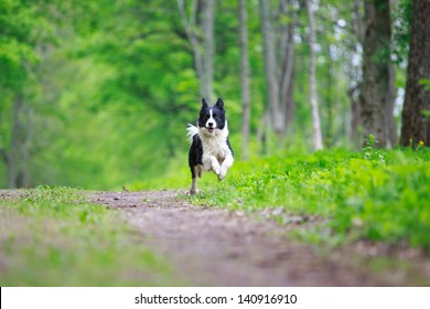 Border Collies run