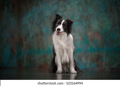 Border collie/StudioBorder collie/Studio