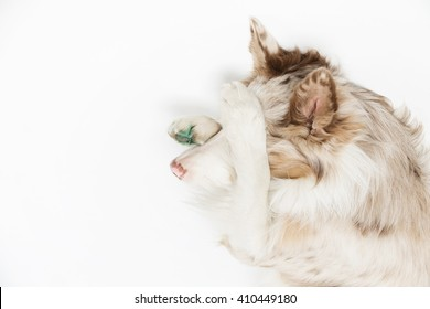 Border dog is lying on his back legs and hides the face on a white background, isolated