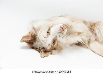 Border dog is lying on his back legs and hides the face on a grey background