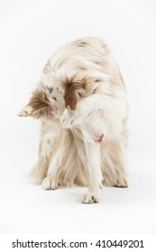 Border dog sits and hides a muzzle paws on a white background, isolated
