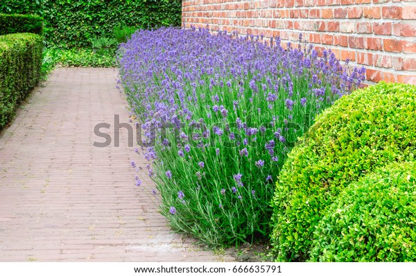 Border Flowering Lavender Plants Against Wall Stock Photo Edit