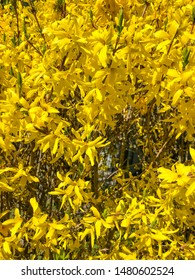 Border forsythia (Forsythia × intermedia is an ornamental deciduous shrub of garden origin.