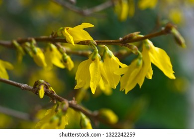 Border forsythia is an ornamental deciduous shrub of garden origin.Forsythia flowers in front of with green grass and blue sky. Golden Bell, Border Forsythia.