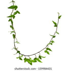 Border Frame made of Green climbing plant, shape heart , isolate