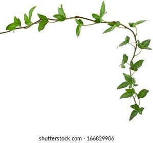 Border Frame made of Green climbing plant, shape heart , isolated on white background