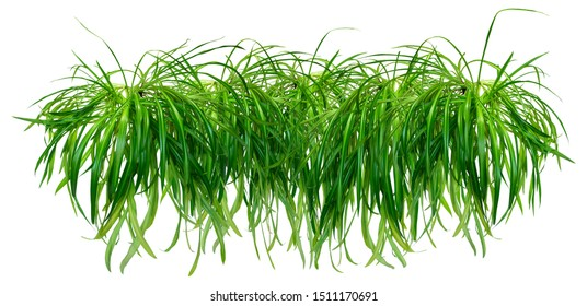 Border or garland of Chlorophytum. Isolated on white background for home design or landscaping project. Lush healthy plants combined into one object for decoration.