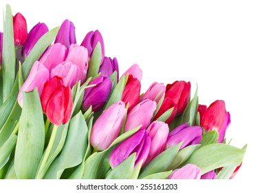 border  of red, pink  and purple fresh tulip flowers  isolated on white background