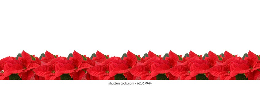 border of red poinsettia isolated on a white background