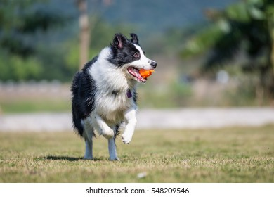 Border Shepherd runs in the grass