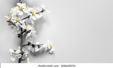 Border Sprigs of a wood apricot with flowers in a gray tone and yellow stamens on gray background. Place for text. Home. The concept of spring came. Top view. Flat lay. Banner 8 march, Happy Easter
