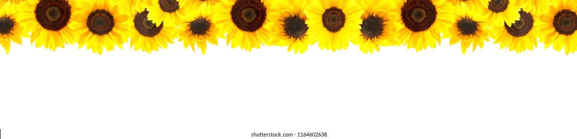 Border of sunflowers isolated on white background