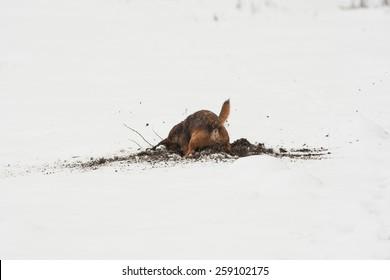 Border terrier cross dog digging in snow