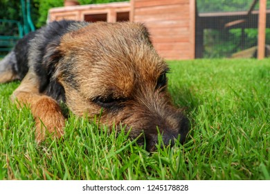 Border terrier dog lying down on grasss