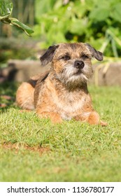 border terrier lies on the grass, the Netherlands