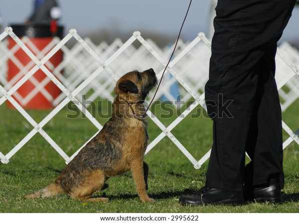 Border Terrier looks up at his master