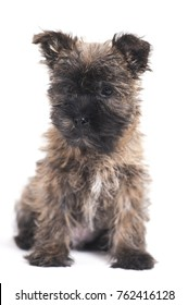 Border Terrier puppy with flowers isolated on white in the studio