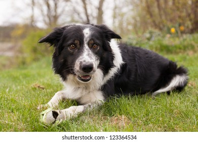 bordercollie out in the grass