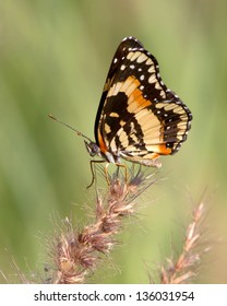 A Bordered Patch Butterfly (Chlosyne lacinia) carefully balancing on a seed head near a small pond outside of Uvalde (Uvalde County) in south Texas