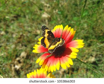 A bordered patch butterfly on a wildflower