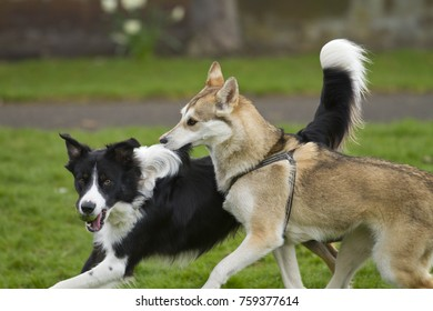 Borders Collie and Shiba Inu play in the park