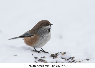 boreal chickadee (Poecile hudsonicus) in winter