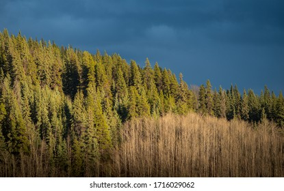 Boreal forest in a nice evening light.