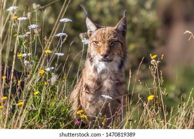 Boreal lynx among spring flowers, horizontal.