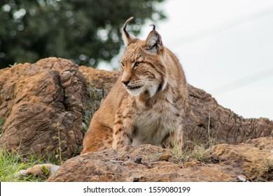 boreal lynx enjoying in its territory