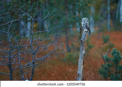 Boreal owl, Aegolius funereus, small, nocturnal owl, known as Tengmalm's owl, sitting on a small pine in a colorful, early autumn taiga environment against blurred trees in background. Europe.