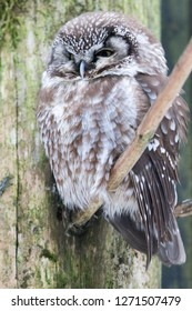 """Boreal owl in the national park """"Bayerischer Wald"""""""