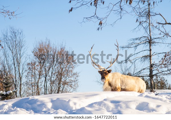 boreal-woodland-caribou-snow-600w-164772