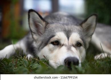 Bored alaskan malamute