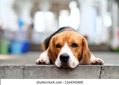 A bored beagle dog