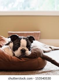 Bored Boston Terrier Puppy