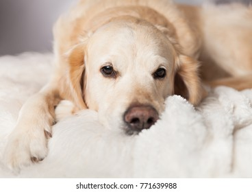 Bored Golden Retriever Dog Sleep on Light Pastel Gray White Scandinavian Textile Decorative Coat Pillows for Modern Bed in House or Hotel. Pets care friendly concept.