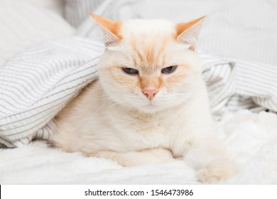 Bored young ginger red mixed breed cat under light gray and white stripped plaid in contemporary bedroom. Pet warms under blanket in cold winter weather. Pets friendly and care concept.