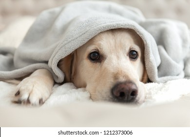 Bored young golden retriever dog under light gray plaid. Pet warms under a blanket in cold winter weather. Pets friendly and care concept.