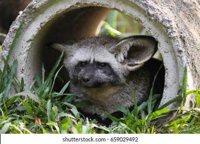 boring bat eared fox lay down in cement pipe
