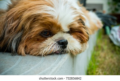 Boring Shih-Tzu dog close up