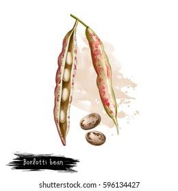 Borlotti bean. Digital art illustration of cranberry beans, Roman saluggia rosecoco bean. Phaseolus vulgaris. Organic healthy food. Vegetable bean with splashes. Hand drawn. Clip art graphic design