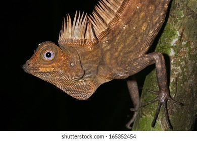 Bornean Angle-headed or Crested Forest Lizard (Gonocephalus bornensis) watches closely as it clings to a tree in the jungles of Borneo. Lizard defends its territory & stares closely into the camera.
