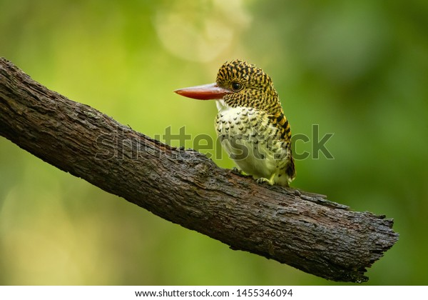 Bornean banded kingfisher (Lacedo melanops) is a tree kingfisher found in lowland tropical forests of Borneo. It is the only member of the genus Lacedo.